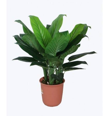 POTTED 90CM PHILODENDRON